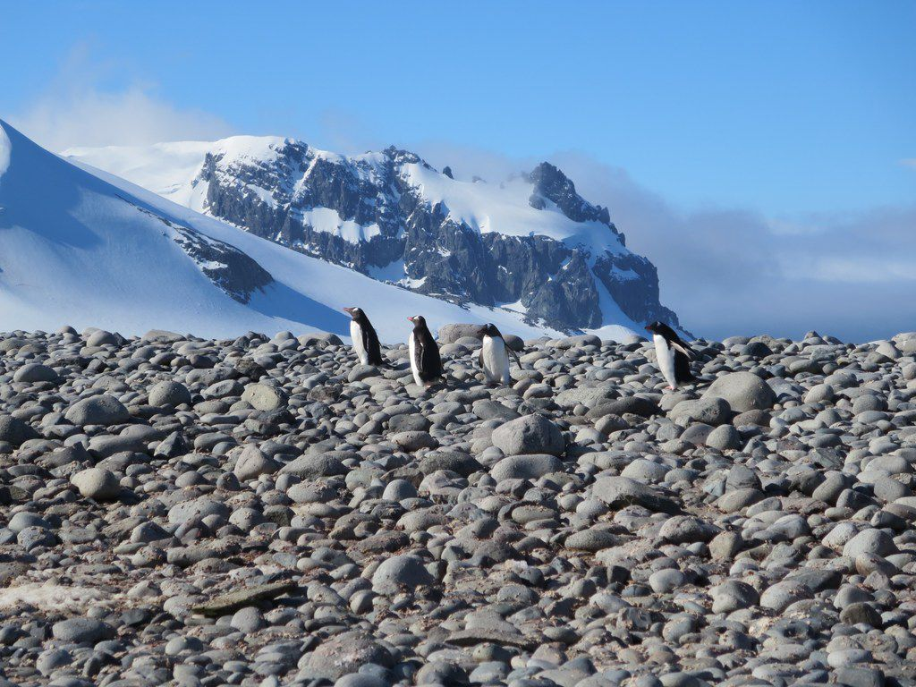 Gentoo penguins waddle over the stones and snow in Antarctica.