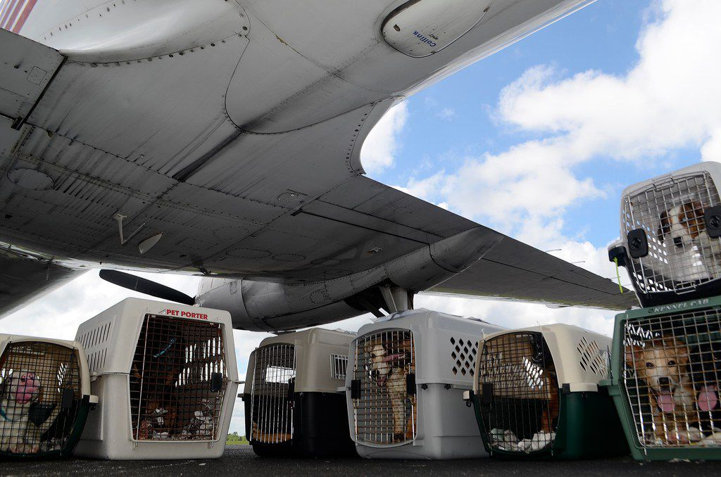 Shelter dogs sit in kennels under the shade of a Wings of Rescue charter plane in Mississippi last month.