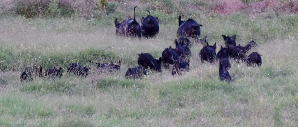 Zada Pemberton, whose family's home is near the historic Big Spring, took this photo of feral hogs near the sensitive and protected natural spring in southern Dallas. The hogs' presence is damaging the spring and the land around it, conservationists say.