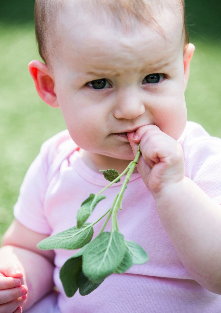 Julianna Bryant, 9 months, tastes sage as preschool students touch, smell and harvest herbs in the garden behind The Orchard School in Plano.