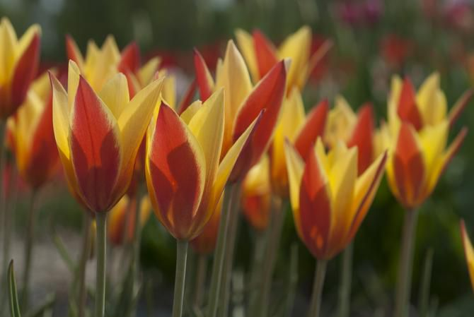The flower petals of Tulipa clusiana 'Tubergen's Gem' are pure yellow, stroked with crimson on the outside. When warmed by the sun, the flowers open wide in bright golden star-shapes. 8 inches tall, blooms mid-spring. Native to Afghanistan and Tibet. In the Dallas area, pre-chill them in the fridge until late fall. These species tulips should be planted earlier than the big Dutch hybrid tulip bulbs.