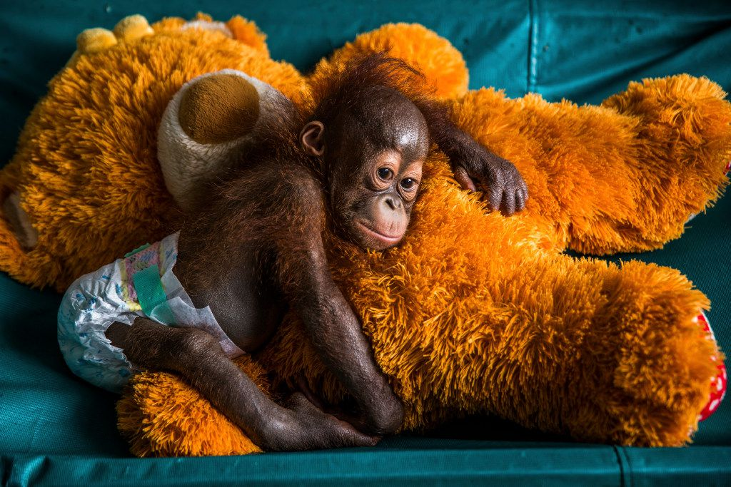 An orangutan rests on top of a teddy bear in Indonesia.