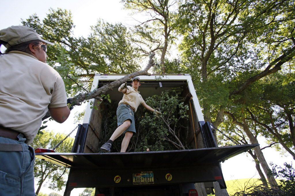 Elephant keeper Krystle Hughes lifts a large branch from a Cedar Elm tree to hand to colleague Emily Kornmuller for transporting to The Dallas Zoo, on Wednesday, June 22, 2016 at Tenison Park Golf Course in Dallas.