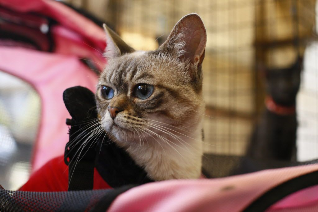 Famous abandoned rescue cat, Sauerkraut waits for the next her next visitors The Cat Connection at the first cat cafe in Dallas August 8, 2015.