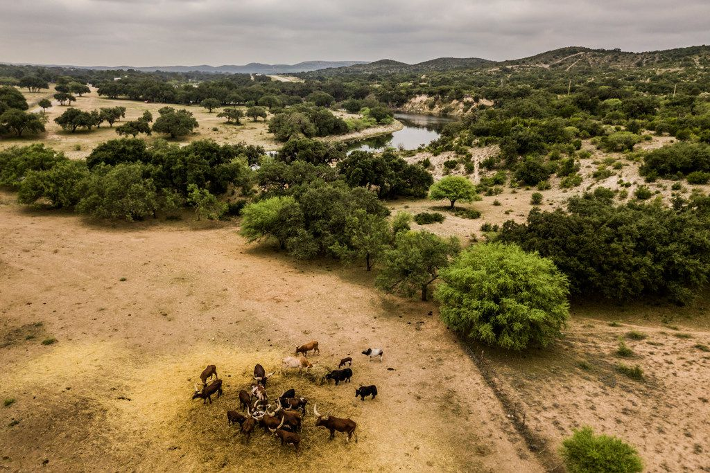 Various bovine species, including Watusi cattle and buffalo, eat from a hay drop at the Ox Ranch in Uvalde, Texas, Aug. 17, 2017.