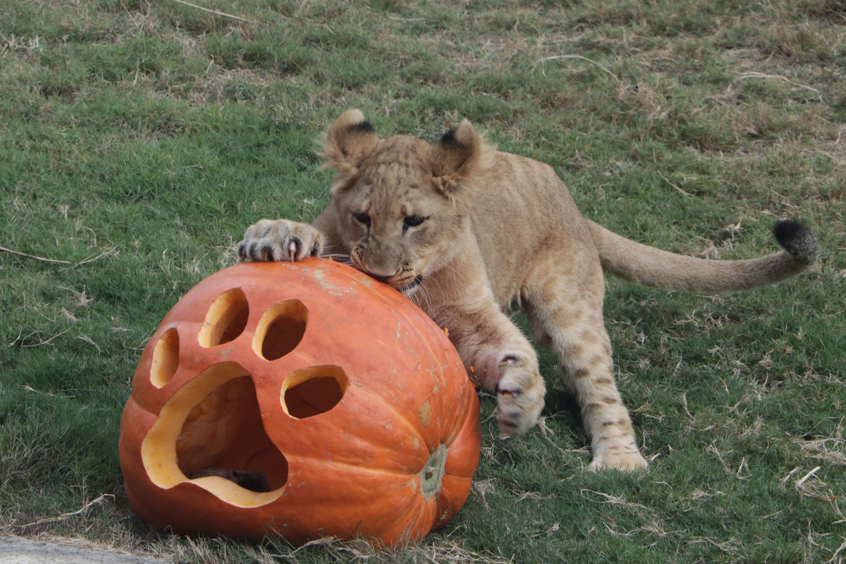 Animals at the Dallas Zoo celebrated Halloween on Tuesday with pumpkins, some filled with meaty treats or worms. Among the animals enjoying the pumpkins were lion cub Bahati, Ajabu the elephant, meerkats, giant Galapagos tortoises and hippos Adhama and Boipelo.