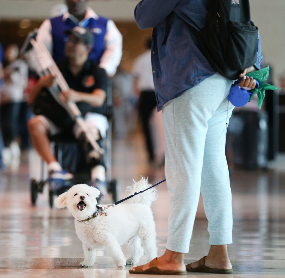 Shanir Richmond waits in baggage claim with her support dog Henny at Dallas Love Field Airport.