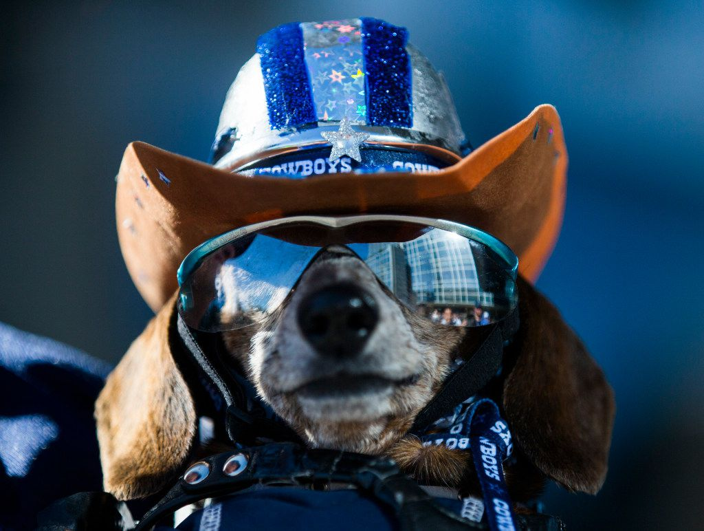 Therapy dog Dixicupcup wears her sunglasses and Cowboys gear while waiting in line before the Dallas Cowboys' 2017 NFL Draft Party on Thursday, April 27, 2017 at The Star in Frisco, Texas.