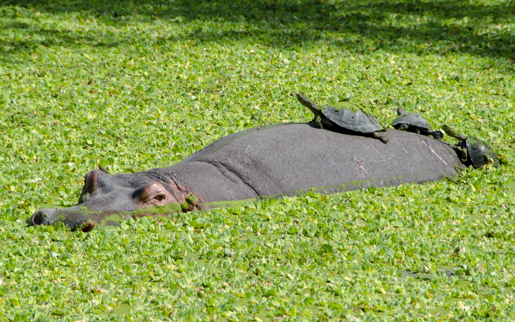 Harry the Hippo and his turtle friends lounge in the lagoon at Bilimungwe Camp.