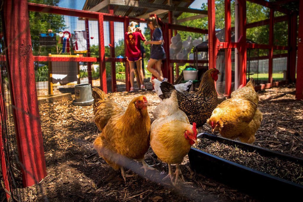 """Students work in the coop with chickens at Moss Haven Farm during """"A Peep at the Coops"""", a tour of seven private, urban chicken coops, on May 6, 2018, in Dallas."""