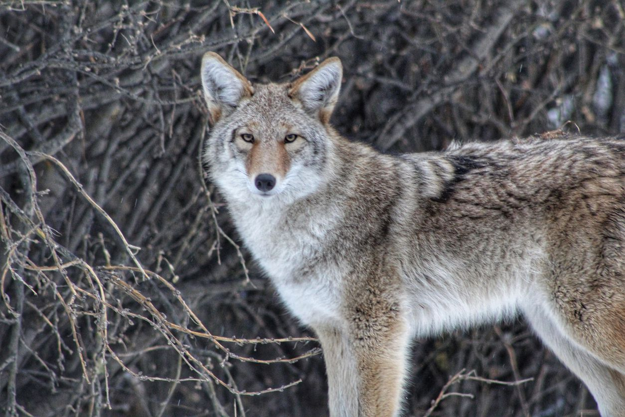 Un coyote particularmente agresivo azota a los residentes de Frisco. iSTOCK