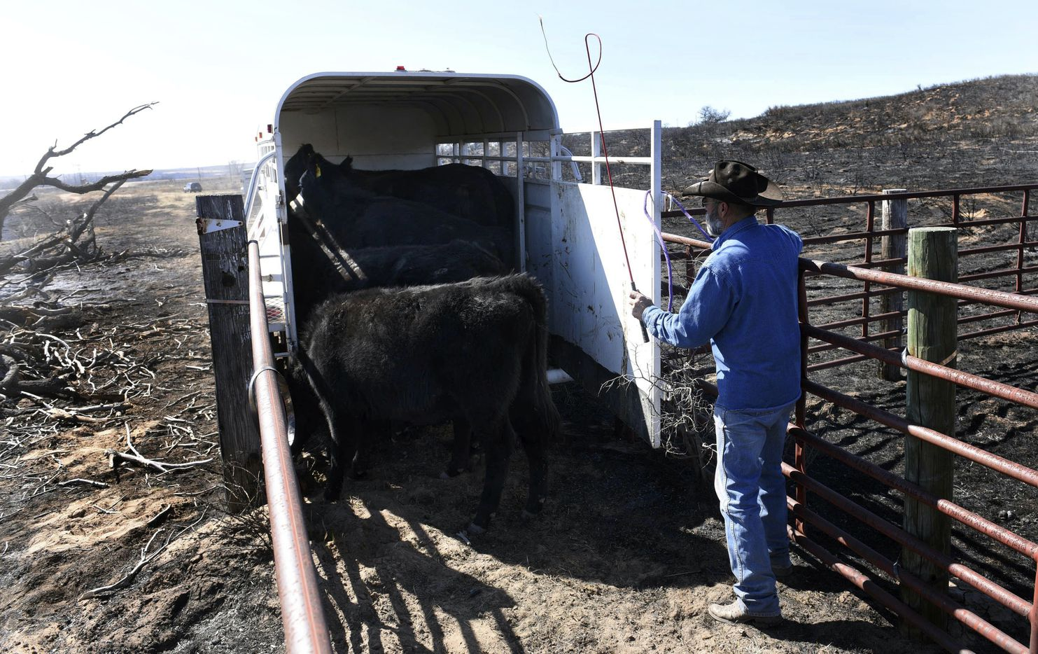 Gray County rancher Ron Ferguson works to load cattle. Ferguson said he lost between 12 and 14 head of cattle in the fires, including several newborn calves. (Michael Schumacher/Amarillo Globe-News)