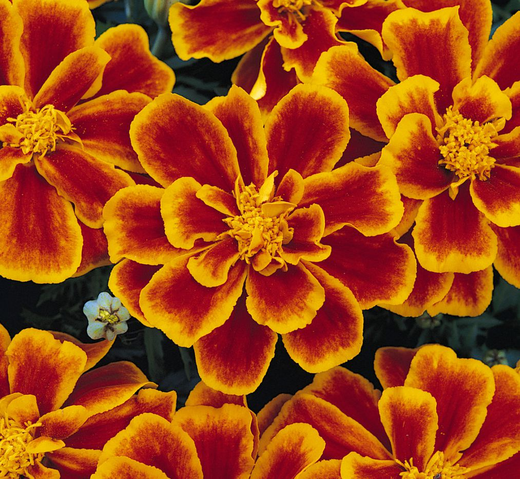 French marigold 'Durango Flame'