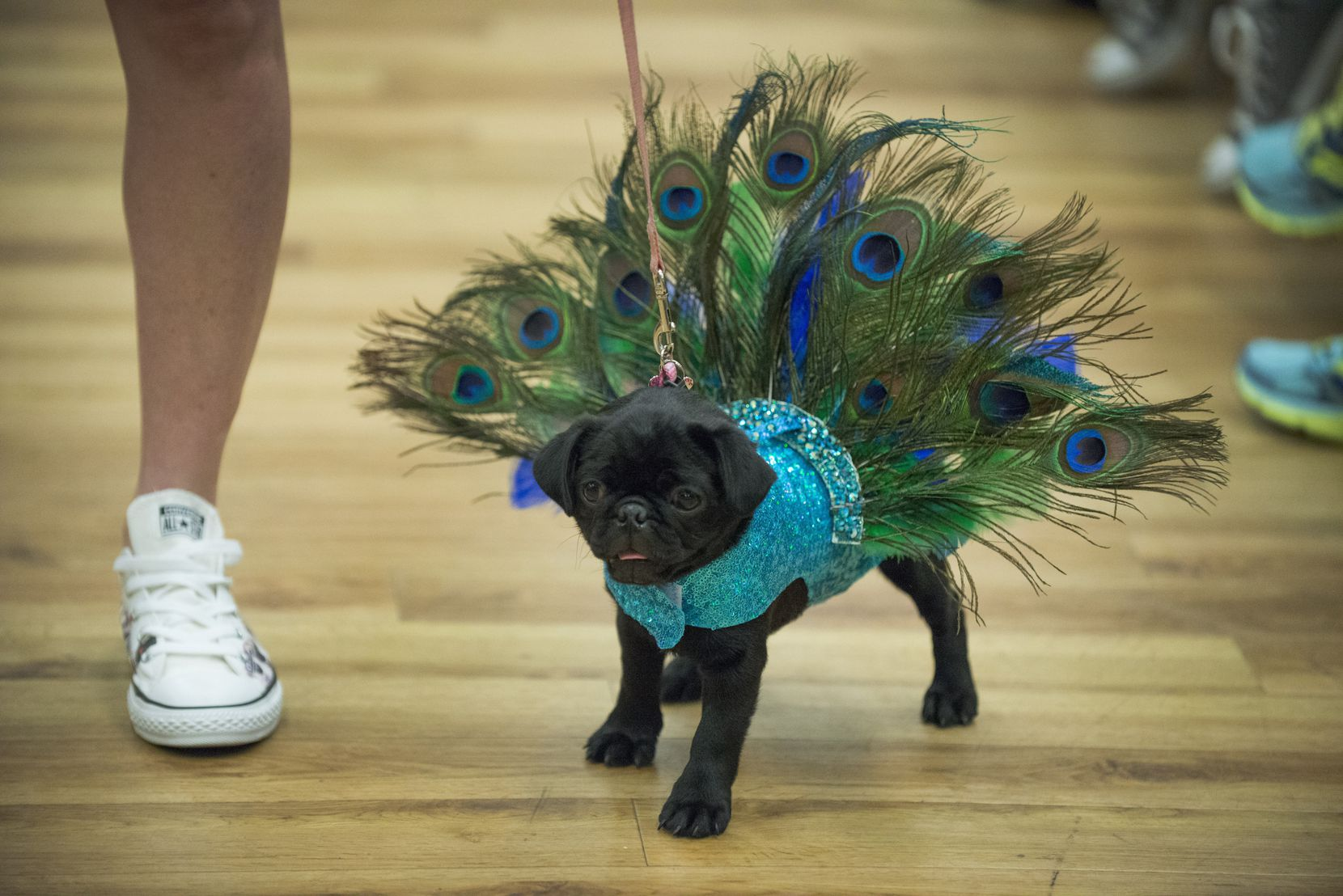 Piper walked the runway as a peacock at the 19th annual Pug-O-Ween at the Grapevine Convention Center on Oct. 11, 2015.