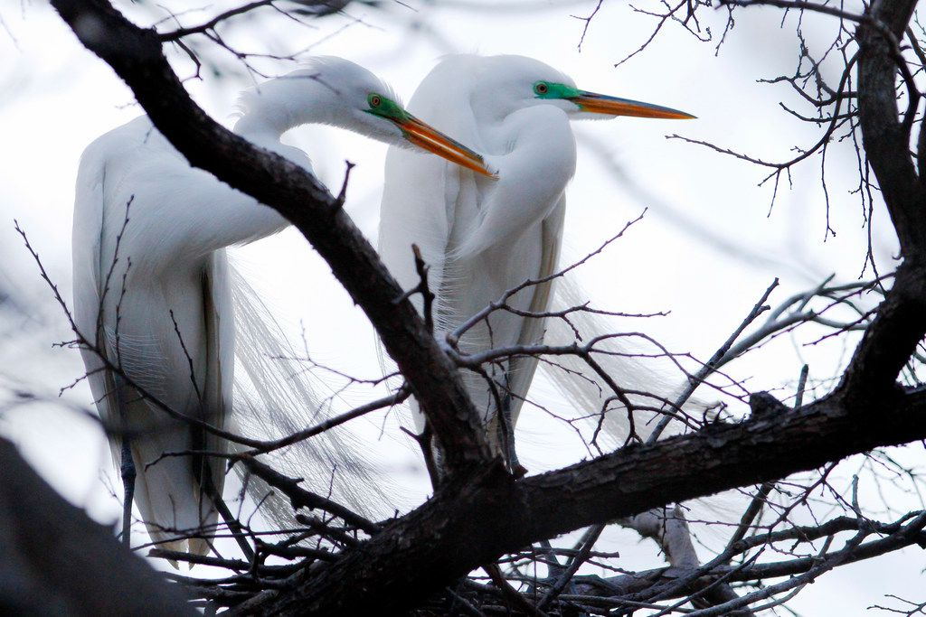 Two great egrets sit near their nest at the University of Texas Southwestern Medical Center Rookery in Dallas.