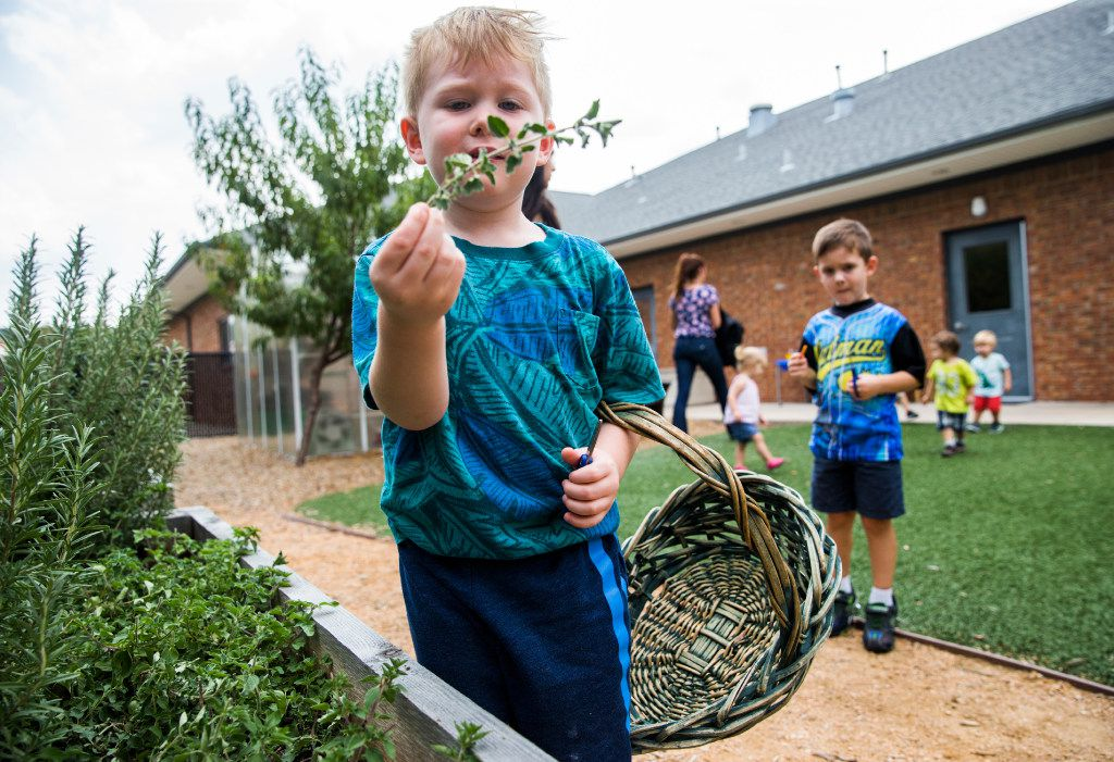 Jacob Martin, 3, holds a clipping from a plant as preschool students touch, smell and harvest herbs in the garden behind The Orchard School on Friday, August 4, 2017 on Independence Parkway in Plano, Texas. Parents banded together to buy and license the school after it's corporate owner, KinderCare, shut it down.