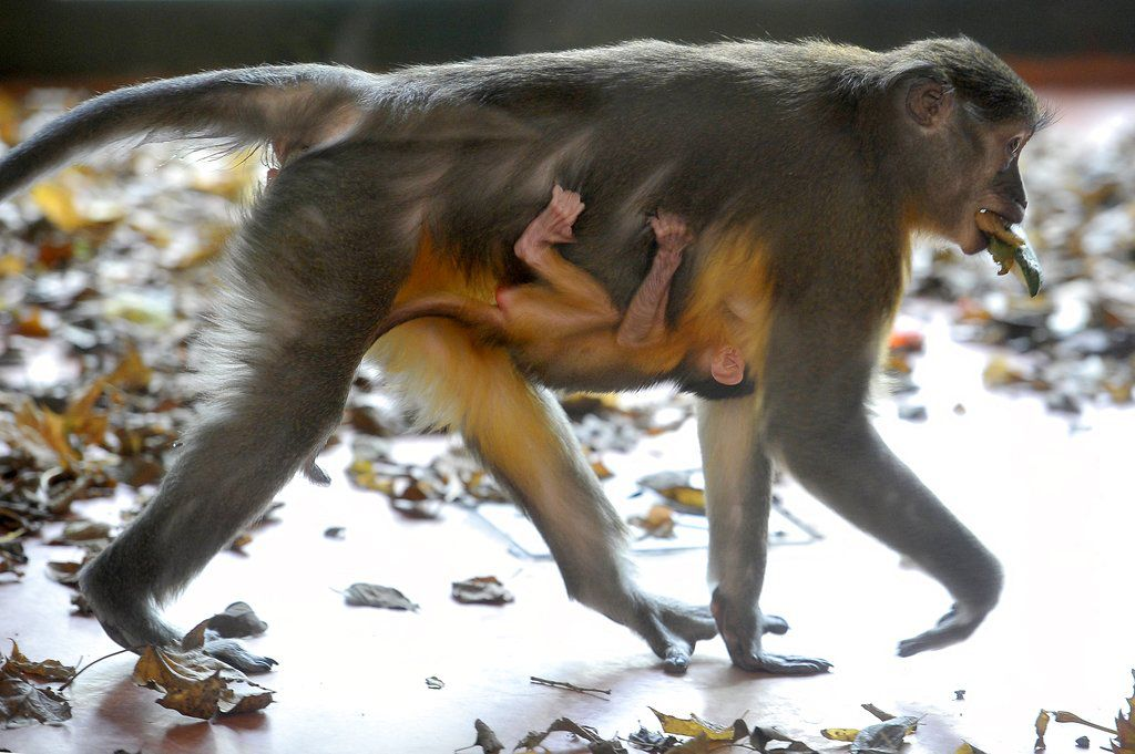 Esta foto del viernes 9 de noviembre del 2018 muestra a un mono mangabey de panza dorada con su crío recién nacido en el zoológico de Budapest, Hungría. (Attila Kovacs/MTI via AP)