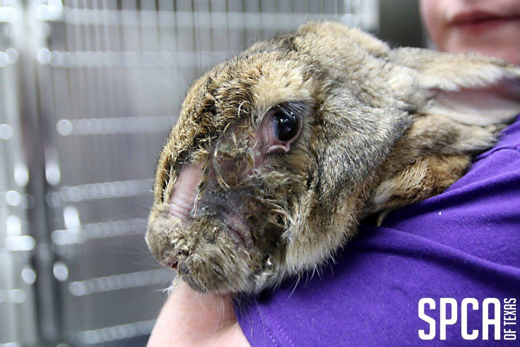 SPCA of Texas and Kaufman County officials rescued 452 rabbits from a shed Wednesday.