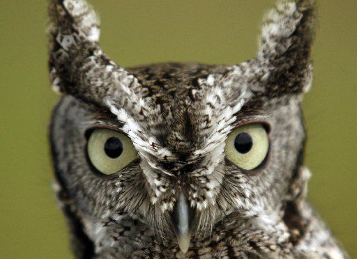 This Eastern screech owl was on display at the Lewisville Lake Environmental Learning and Wildlife Management Area in Lewisville in 2006. The migratory bird is federally protected.