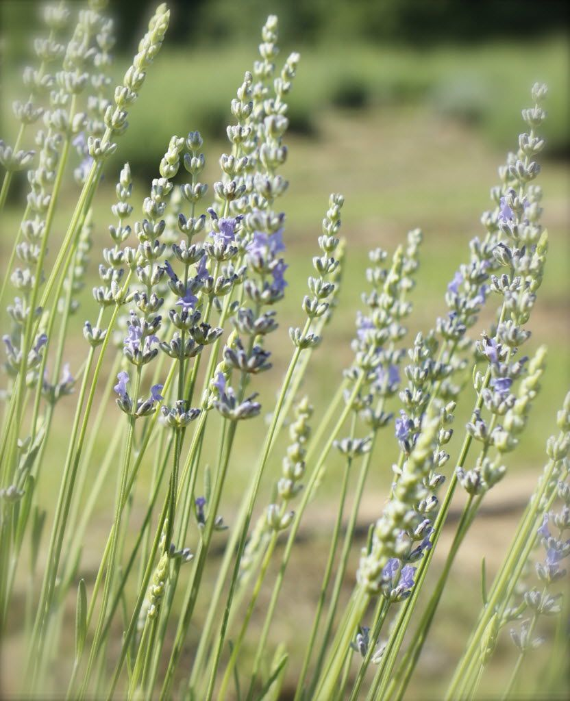 Lavender Ridge Farms, east of Gainesville, will be the site of the Lavender Festival.