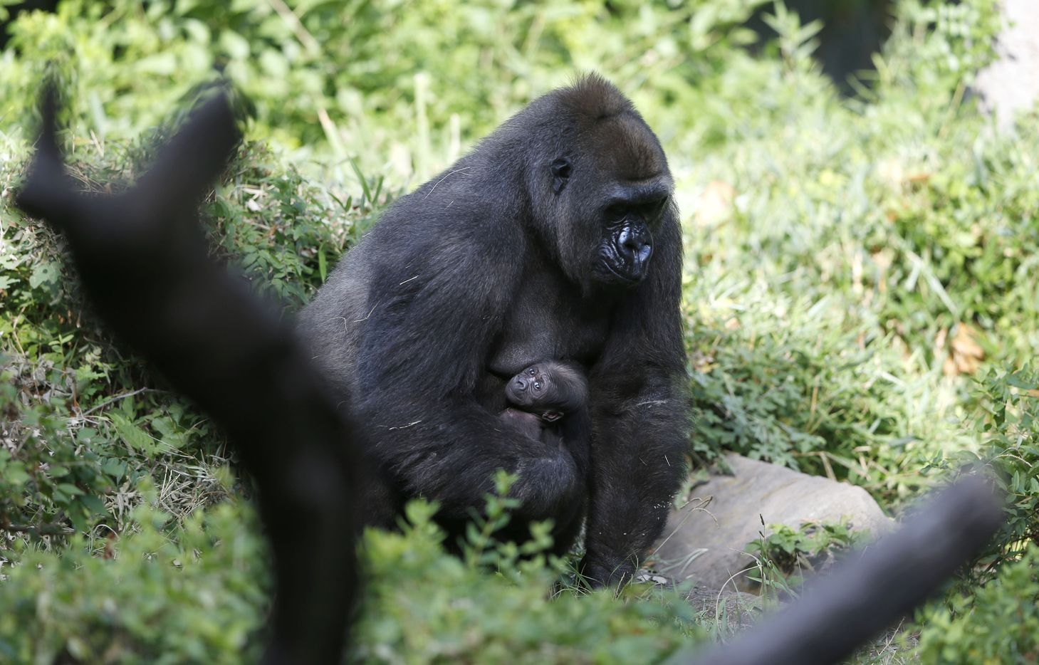 Hope holds her baby gorilla at the Dallas Zoo in Dallas on Thursday, July 5, 2018. The newborn gorilla is the fifth the zoo has cared for in nearly 50 years and the first born at the zoo since it welcomed Wakub, also known as Jake, in January 1998. (Vernon Bryant/The Dallas Morning News)