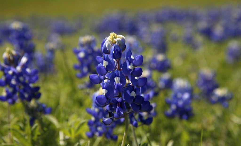 The bluebonnet flowers are seen along Highway 408 Spur in Dallas.
