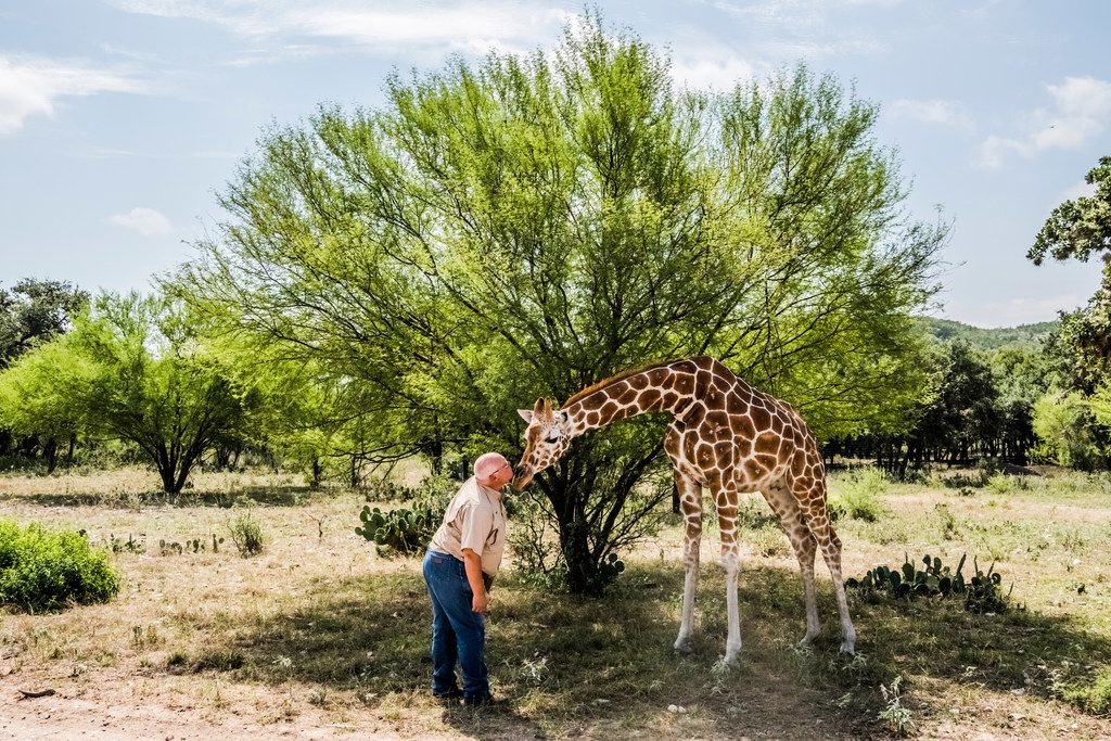 Buck Watson pets Buttercup the giraffe at the Ox Ranch in Uvalde, Texas, Aug. 15, 2017. Hunters are not allowed to shoot the ranchÕs giraffes.