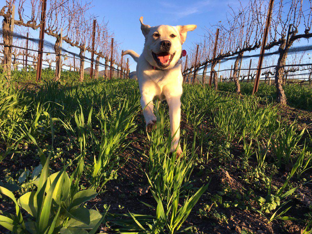 Dixie runs through Talley Vineyards in San Luis Obispo's wine country on California's Central Coast.