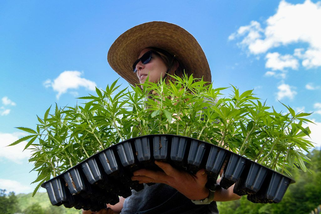 A new Texas law intended to encourage cultivation of hemp as an industrial crop -- as shown at a farm in North Carolina -- has caused confusion, with some of Texas' big-city prosecutors saying they don't have the lab-testing capability to prove up some of their pending marijuana-possession cases. On Thursday, state GOP leaders disagreed.