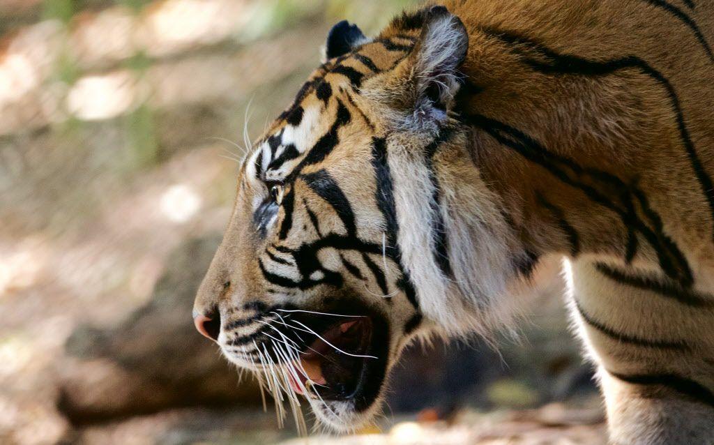 Kipling, a 9-year-old Sumatran Tiger, in his habitat at the Dallas Zoo, Monday, August 29, 2016. (Brandon Wade/Special Contributor)