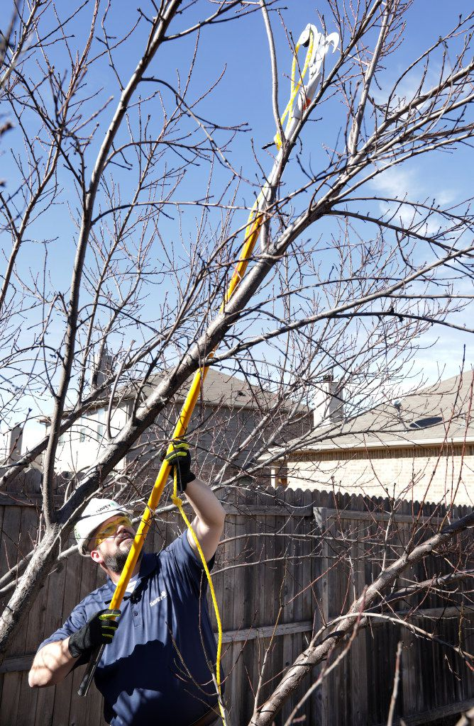 Brian Cox, with The Davey Tree Expert Company, prunes a peach tree at a client's home in Frisco.