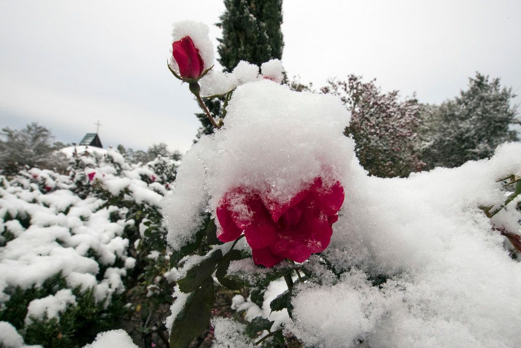 Rose bushes are covered by snow outside a church Friday, Dec. 8, 2017, in Spring, Texas, north of Houston. Rare snowfall in many parts of southern Texas has knocked out power to thousands, caused numerous accidents along slick roadways and closed schools. The weather band brought snow to San Antonio, Corpus Christi, Houston and elsewhere.