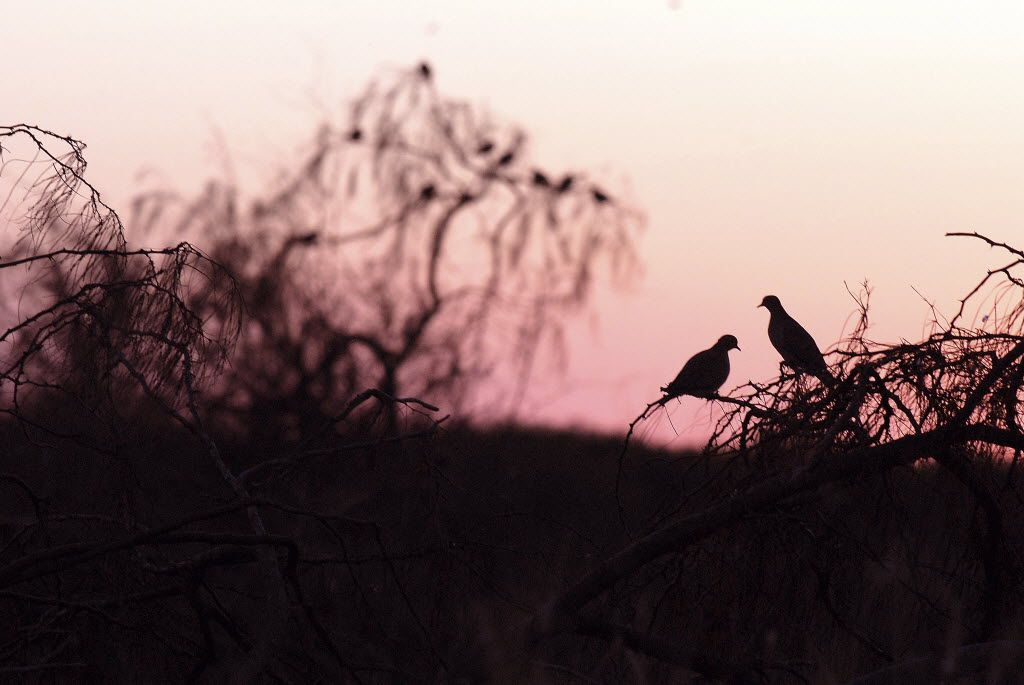 __ Caption: The Texas Parks and Wildlife Departments public dove lease program provides bargain hunting opportunities.  Email: mkondracki Phone: 7656 Byline: Ray Sasser/staff Submitter: kondracki Timestamp: 2012-07-18 18:42:28 Section: SPORTS_NS 07222012xSPORTS