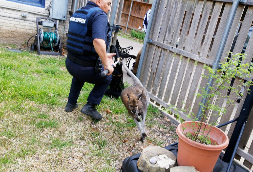 Dallas Animal Services officer Charles Hernandez attempts to catch a wallaby.