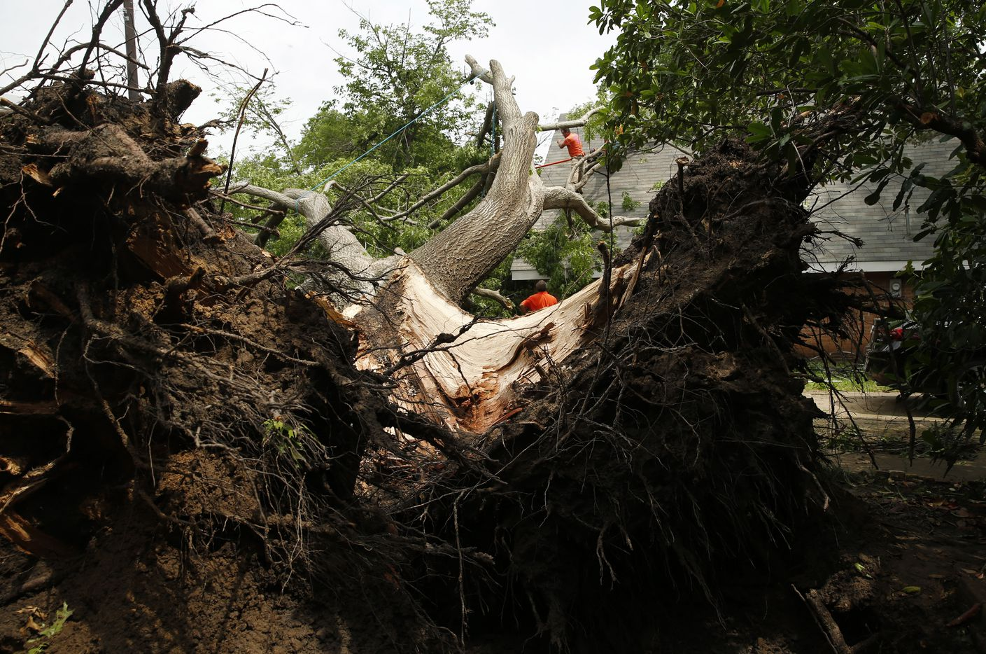 Manuel Alcantar trims a red oak tree from the roof of a house after a tornado passed through in Denton, Texas on Wednesday, May 1, 2019. The tree was planted in 1963. (Vernon Bryant/The Dallas Morning News)