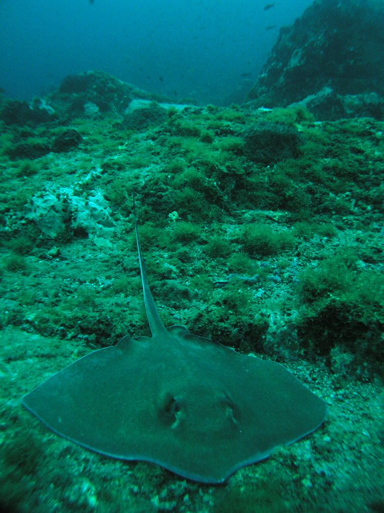 Southern stingrays often rest in the valleys between pinnacles at Stetson Bank near Flower Garden Banks National Marine Sanctuary. (Emma Hickerson/Flower Garden Banks National Marine Sanctuary)