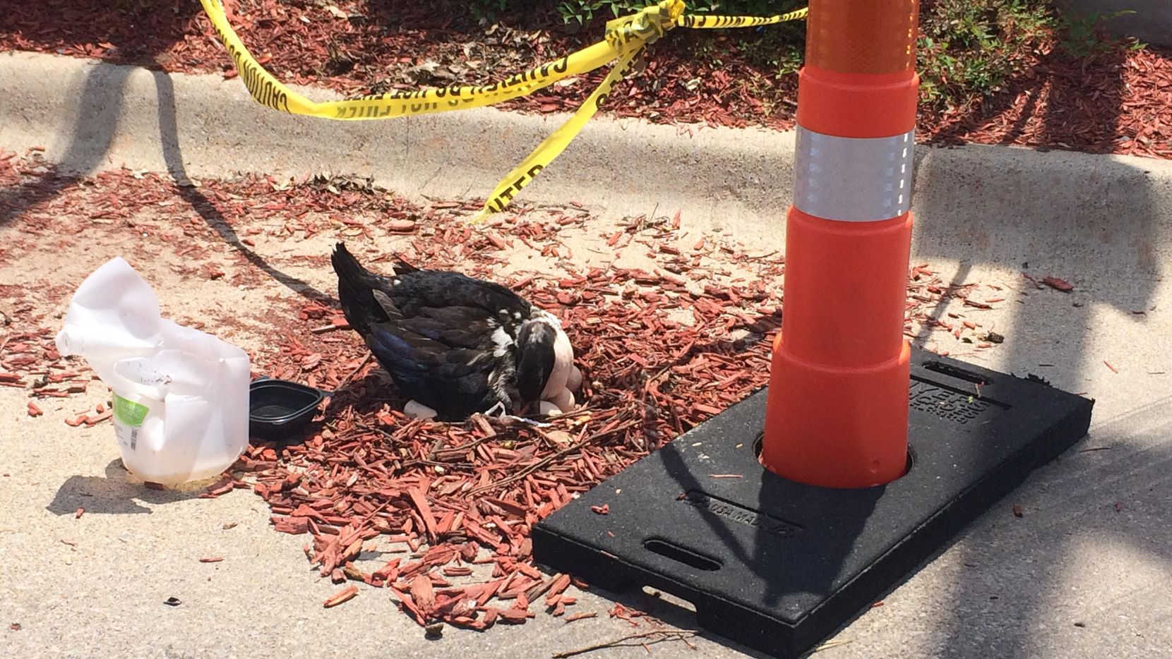 A mother duck rearranges her eggs outside the Whataburger near the intersection of Lemmon Avenue and Northwest Highway. (Photo courtesy of Kristi Robeson)