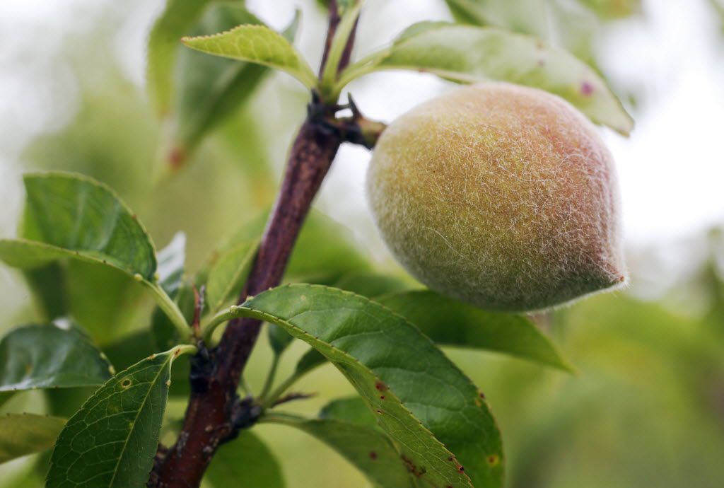 A peach grows on one of the many peach trees at Larken Farms Orchard in Waxahachie.