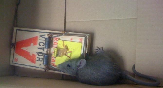 Esta es una de las ratas atrapadas en la corte de la jueza Julia Hayes de Dallas. (JULIA HAYES/CORTESÍA)