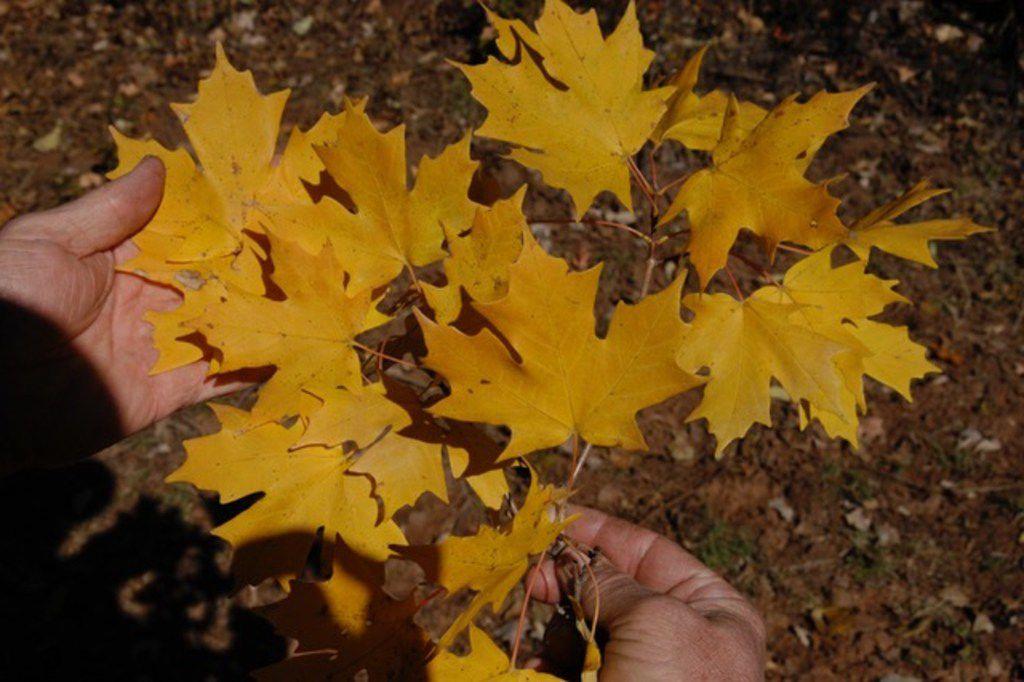 Caddo maple tree leaves (Acer saccharum var. caddo)