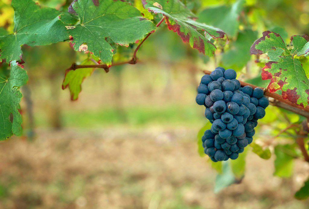 Pinot noir grapes ready for harvest at the Ferrari estate in Trentino, Italy.