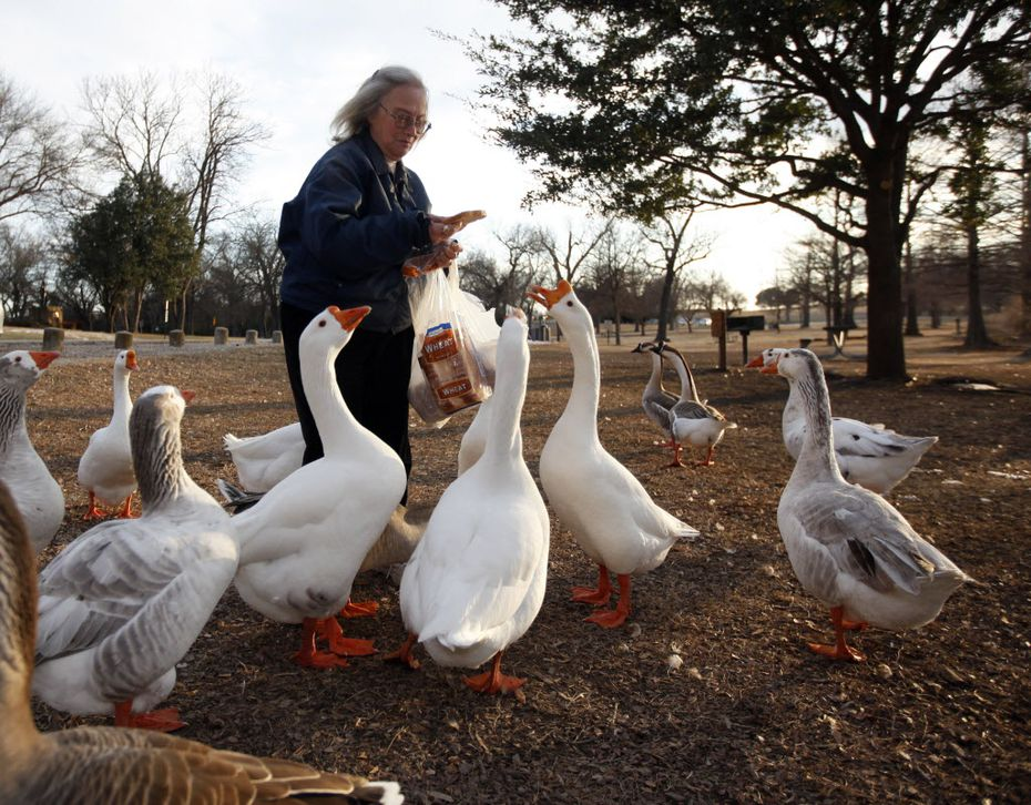 "Anne Carlson of Dallas feeds the geese at White Rock Lake in Dallas in the late afternoon on Super Bowl Sunday, February 6, 2011.  ""It's my relaxation. They are just really dear,"" said Carlson."