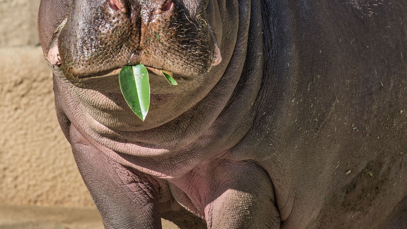 Adhama, a 6-year-old male hippo, enjoys a leafy meal at the Los Angeles Zoo.