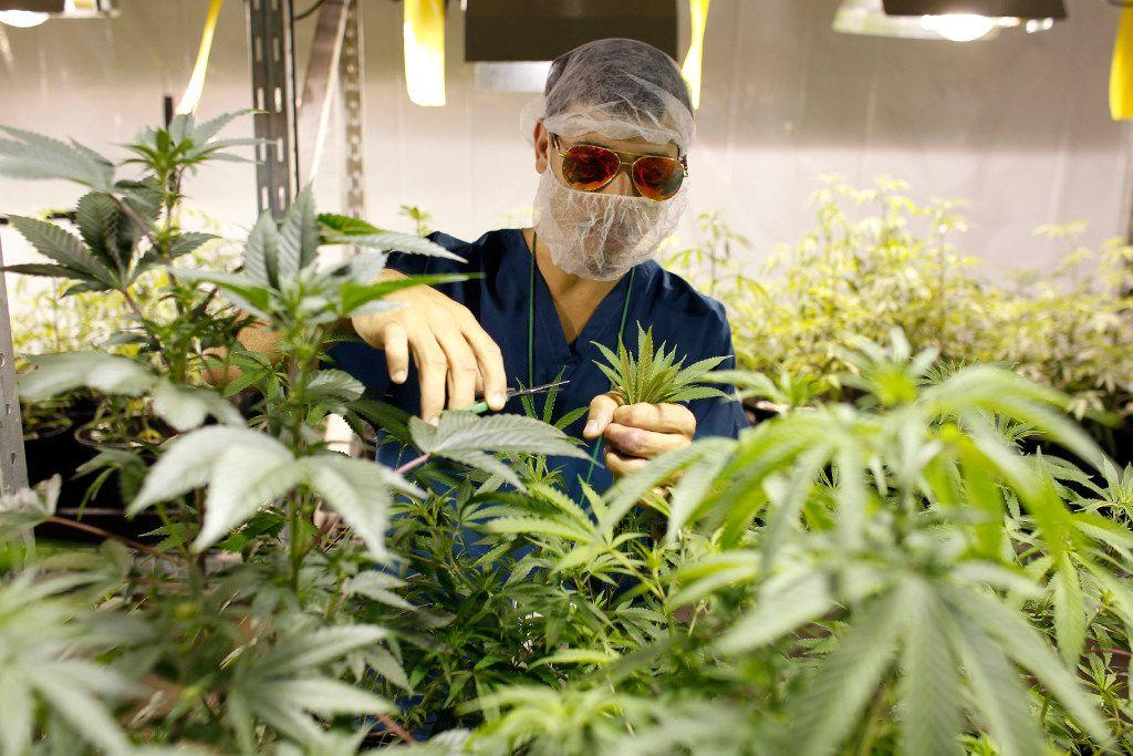 Medical marijuana blazes trail into Texas with first grow