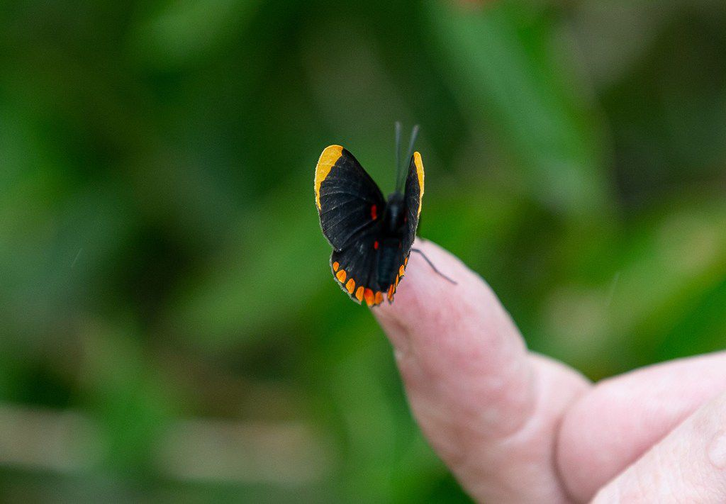 A red-bordered pixie butterfly at the National Butterfly Center  in Mission, Texas.