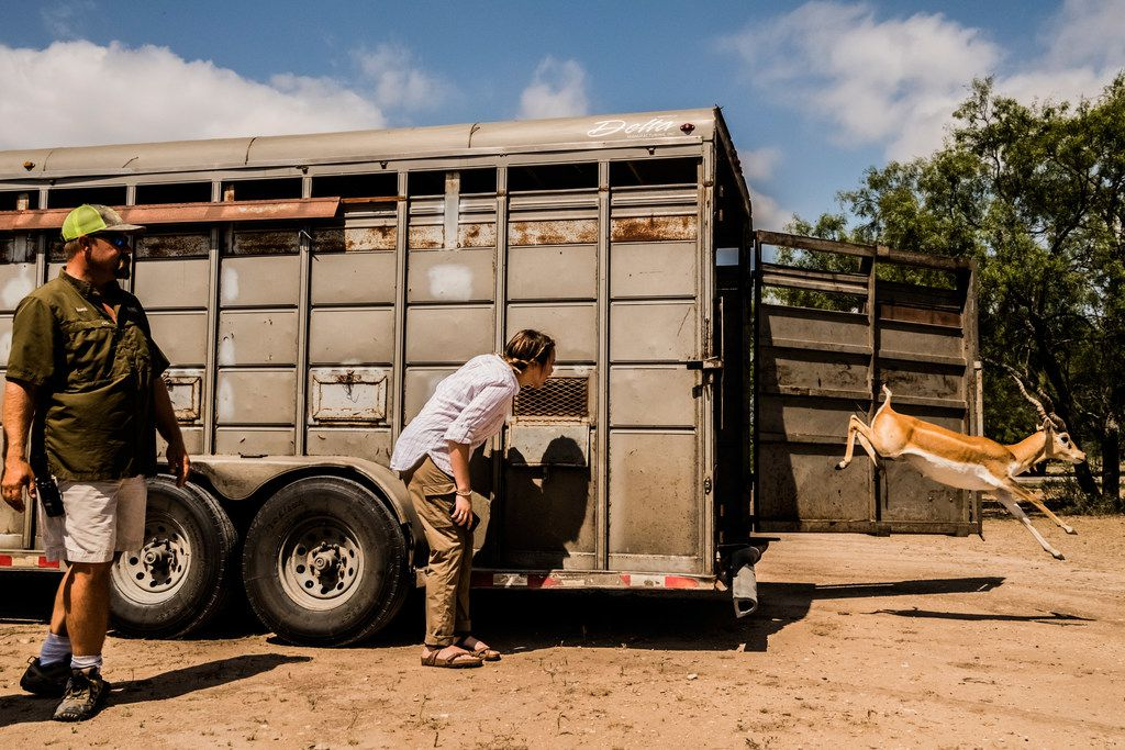 April Molitor watches with her father, Jason Molitor, chief executive of the Ox Ranch, as newly arrived blackbuck antelope are released from a trailer at the ranch in Uvalde, Texas, Aug. 17, 2017.