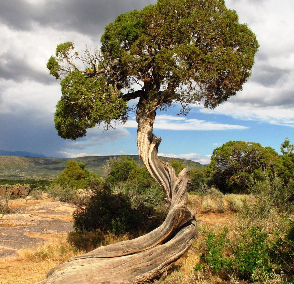 A twisted  tree trunk at Dragon Point reflects windy conditions and harsh winter weather  on the rim of the canyon.