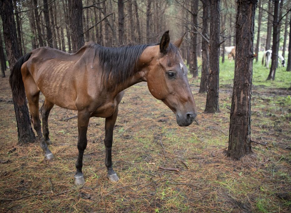 Most of the horses seized on the Camp County property appeared to be underweight and severely malnourished.