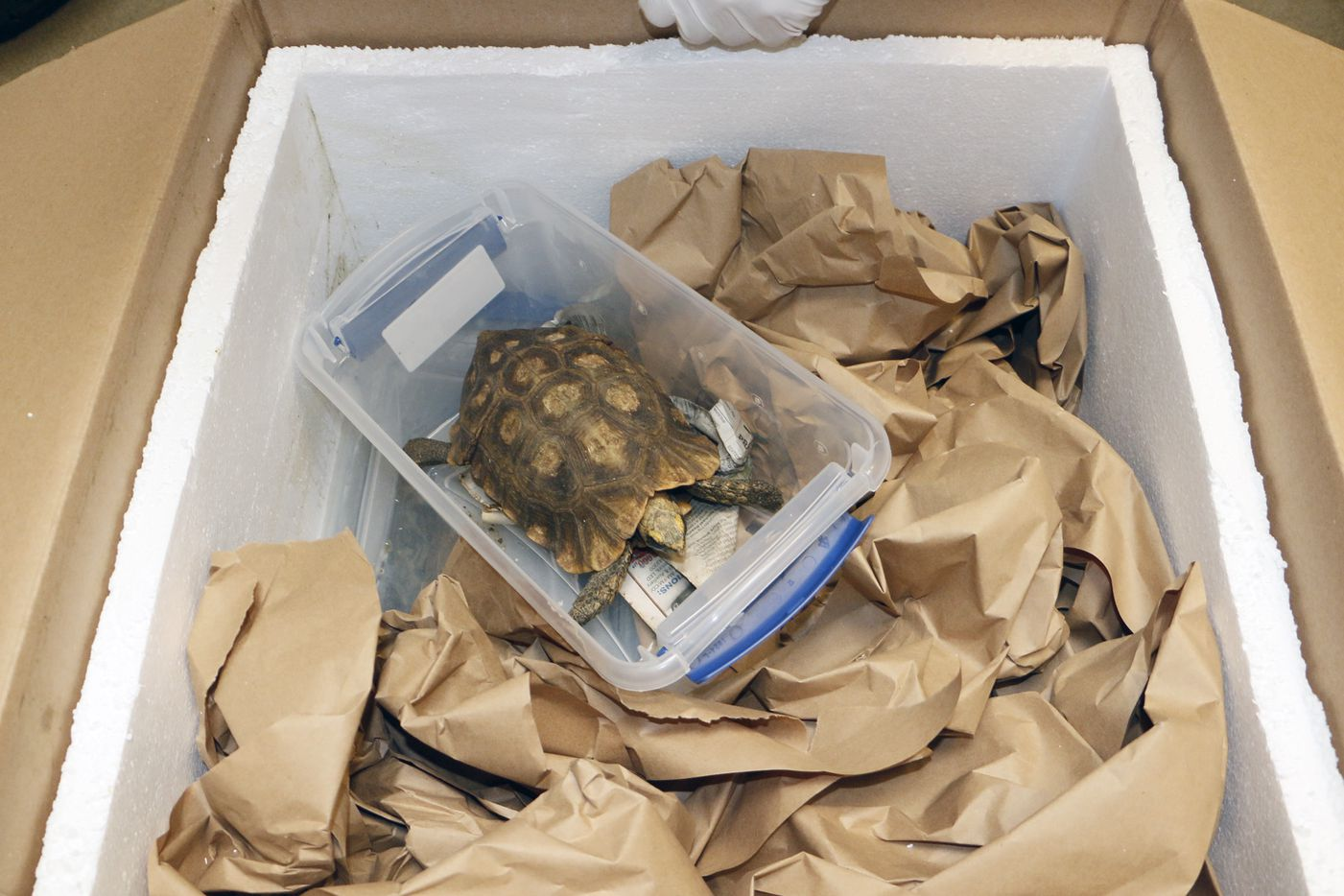 One of the 17 Home's hinge-back tortoises that was sent to the Dallas Zoo after being confiscated in Miami.