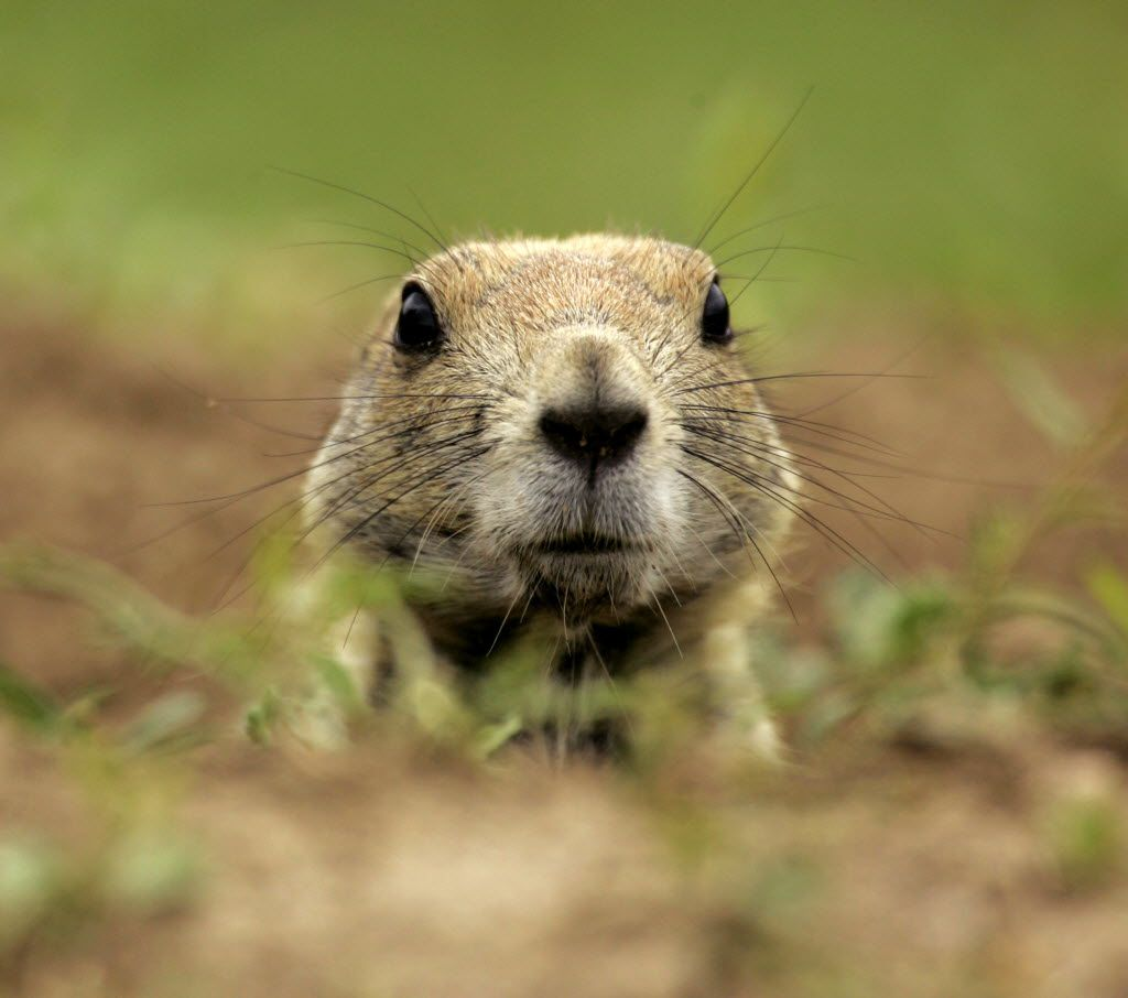 In this Aug. 29, 2007  photo, a black-tailed prairie dog peers out of its burrow at a prairie dog town in Dodge City, Kan.
